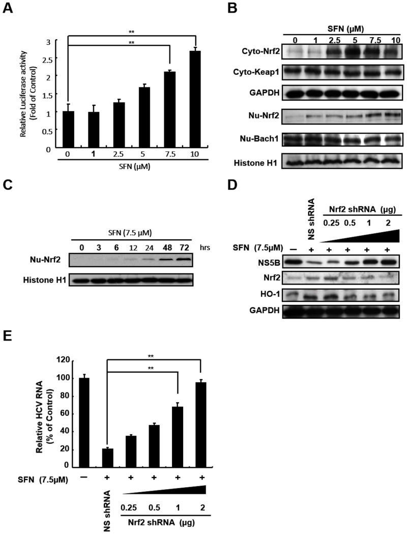 SFN inhibited HCV replication by upregulating Nrf2 expression. SFN stimulated (A) ARE transactivation, (B) Nrf2 expression, and (C) Nrf2 nuclear translocation in a concentration- or time-dependent manner. The antioxidant response reporter plasmid, p3xARE-Luc, was transfected into Ava5 cells and then treated with the indicated concentrations of SFN (0–10 μM) for 3 days. The relative induction of antioxidant activity was determined by luciferase assay. The activity of SFN-untreated Ava5 cells was considered to be 1. The lysates of cytoplasmic and nuclear fractions were separated and the expression levels of HO-1 regulators were analyzed by Western blotting. The SFN-induced Nrf2 nuclear translocation was analyzed by Western blotting at different incubation times (0–72 h). (D and E) Anti-HCV activity of SFN was attenuated by Nrf2 shRNA against Nrf2 expression. Increasing amounts of Nrf2-specific shRNA (0.25–2 μg) or non-specific shRNA were transfected into Ava5 cells. The transfected cells were then treated with 7.5 μM SFN for 3 days. HCV and HO-1 protein and RNA levels were analyzed by Western blotting and qRT-PCR, respectively. Western blotting was performed using antibodies against HCV NS5B, Nrf2, Keap1, Bach1, and HO-1. The expression levels of GAPDH and Histone 1 showed equal loading of cell lysates. Relative RNA levels were normalized to the internal control gapdh . The relative HCV RNA levels were presented as percentage changes compared to SFN-untreated/untransfected Ava5 cells, in which the level was considered to be 100%. Data were represented as the means of normalized data ± standard deviations (error bars) based on five independent experiments. * P