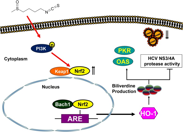 Scheme of SFN-mediated inhibition of HCV replication. SFN induces PI3K phosphorylation and subsequently triggers Nrf2 nuclear translocation to activate HO-1 expression leading to biliverdin production against HCV replication by the induction of antiviral IFN responses and suppression of HCV NS3/4A protease activity.