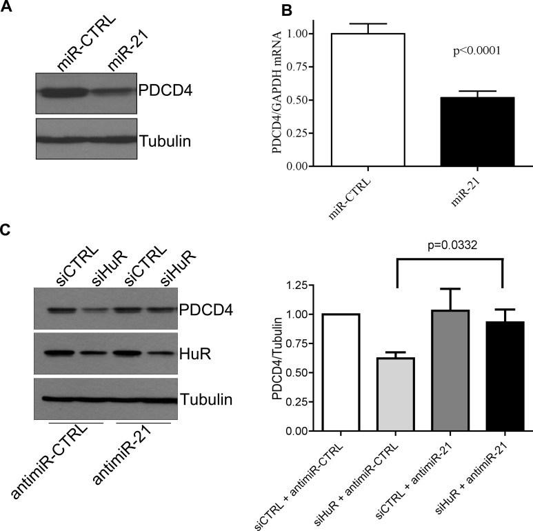 HuR regulates PDCD4 stability via miR-21 A . HeLa cells were transiently transfected with a miR-21 mimic for 24 h and cells were harvested for western blot analysis. Tubulin was used as a loading control. B . HeLa cells were transiently transfected with a miR-21 mimic for 24 h and <t>RNA</t> was harvested. <t>qRT-PCR</t> analysis showing decrease of PDCD4 mRNA relative to GAPDH after miR-21 over-expression. C . Left panel: AntimiR-21 or antimiR-CTRL (control) was transiently transfected into HeLa cells for 24 h followed by siHuR transfection for an additional 48 h. Cells were harvested and protein levels were analyzed by western blot. Right panel: Quantification of PDCD4 protein levels relative to Tubulin.