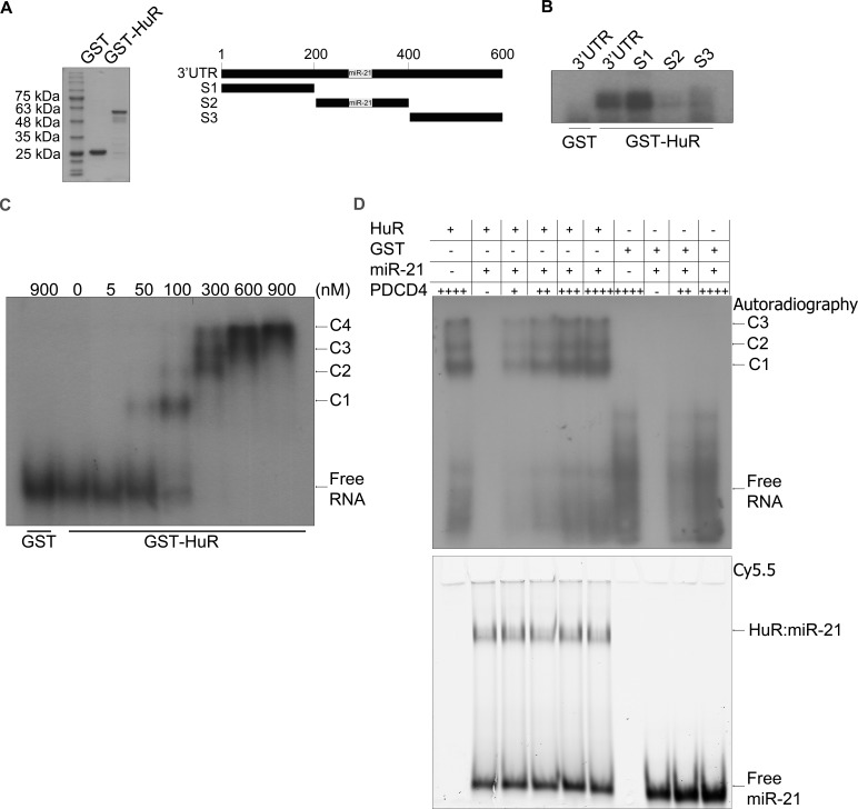 HuR oligomerizes on the PDCD4 3′UTR A . Left panel: Coomassie stain of the recombinant GST and GST-HuR purified from E. coli cells. Right panel: Schematic representation of a fragment of the PDCD4 3′UTR (nucleotides 1-610). S1: nucleotides 1-199, S2: nucleotides 200-400, S3: nucleotides 401-610. The grey box indicates the miR-21 binding site at nucleotides 228-249 [ 25 ]. B . UV-crosslinking with GST or GST-HuR and the PDCD4 3′UTR fragments that were in vitro transcribed and 32 P-labelled. C . RNA EMSA with increasing concentrations of GST-HuR and in vitro transcribed and 32 P-labelled PDCD4 S1S2 probe (nucleotides 1-401). The complexes between HuR and PDCD4 S1S2 RNA are indicated as C1, C2, C3, and C4. D . RNA EMSA with 300 nM GST-HuR or GST incubated with 8 nM Cy5.5 3′-end labelled miR-21 RNA and increasing concentrations of 5 pM, 10 pM, 15 pM, or 20 pM 32 P-UTP labelled, in vitro transcribed S1S2 fragment of PDCD4 RNA. The complexes between HuR and PDCD4 S1S2 RNA are indicated by C1, C2, and C3. The binding between HuR and miR-21 is indicated by HuR:miR-21. Gel was exposed to X-ray film at −80°C to detect autoradiography and subsequently scanned with the Li-Cor Odyssey infrared scanner to detect the miR-21 Cy5.5 signal.