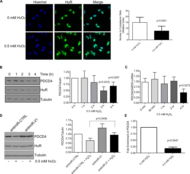 H 2 O 2 causes cytoplasmic accumulation of HuR and a loss in PDCD4 expression that is mediated by miR-21 A . HuR localization by immunofluorescence of HeLa cells treated with PBS (0 mM H 2 O 2 ) or 0.5 mM H 2 O 2 for 1 h. Nuclei are visualized by Hoechst staining. Nuclear/Cytoplasmic ratio of HuR is shown on the right. Higher ratio denotes more nuclear staining. B . Left panel: HeLa cells were treated with 0.5 mM H 2 O 2 for the indicated times and cell lysates analysed by western blot analysis indicating a decrease in PDCD4 protein at 3 h as compared to Tubulin control. Right panel: PDCD4 protein levels were quantified relative to Tubulin. C . Cells were treated with 0.5 mM H 2 O 2 for the indicated time points, total RNA was isolated and analysed by qRT-PCR indicating a loss of PDCD4 mRNA as compared to GAPDH control. D . Left panel: HeLa cells were treated with antimiR-21 or a non-targeting antimiR-CTRL (control) for 24 h followed by treatment with 0.5 mM H 2 O 2 for 4 h. Cells were harvested and analysed by western blot analysis. Tubulin was used as a loading control. Right panel: Quantification of PDCD4 levels relative to Tubulin. E . HeLa cells were treated with 0.5 mM H 2 O 2 or PBS and HuR was immunoprecipitated. Bound RNA was isolated and qRT-PCR was performed to determine levels of PDCD4 mRNA. The levels of HuR-bound PDCD4 in PBS-treated cells were set as 1.
