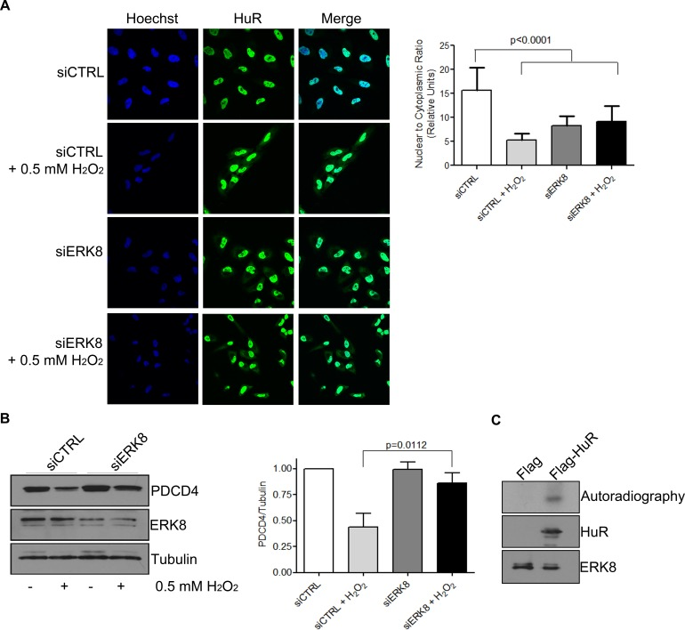 ERK8 phosphorylates HuR to prevent its binding to PDCD4 mRNA A . ERK8 or control siRNA was transfected into HeLa cells for 48 h followed by treatment of cells with 0.5 mM H 2 O 2 or PBS for 1 h. Cells were fixed and immunofluorescence was performed to monitor HuR localization. Hoechst was used to stain the nuclei. Nuclear/Cytoplasmic ratio of HuR is shown on the right. Higher ratio denotes more nuclear staining. B . Top panel: HeLa cells were treated as in (A) and cells were harvested for western blot analysis for indicated proteins. Bottom panel: Quantification of PDCD4 protein levels relative to Tubulin. C . The kinase assay was performed with immunoprecipitated Flag-HuR or Flag empty vector as substrate and HA-ERK8 kinase in the presence of 32 P gamma-ATP and exposed to X-ray film. The levels of HuR and ERK8 proteins were detected by western blot analysis.