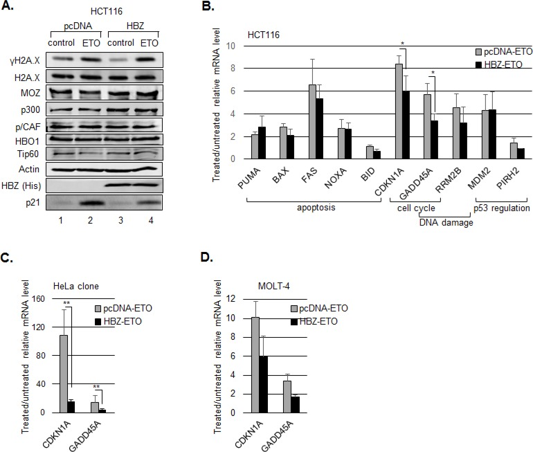 HBZ inhibits p53-mediated activation of p21/CDKN1A and GADD45A HCT116 p53 +/+ cells were transiently transfected with an HBZ or empty expression vector and treated with etoposide (ETO) or the DMSO vehicle control (control) for 8 hours. A. Expression of HAT proteins. Nuclear extracts were analyzed by Western blot using the antibodies indicated. B. mRNA levels of p53-responsive genes. The graph shows real-time PCR data averaged from three or more independent experiments ± S.D. C. mRNA levels of p21/CDKN1A and GADD45A genes. HeLa cells stably transfected with an HBZ or empty expression vector and treated with etoposide (ETO) or the DMSO vehicle control (control) for 6 hours. The graph shows real-time PCR data averaged from four independent experiments ± S.D. * P