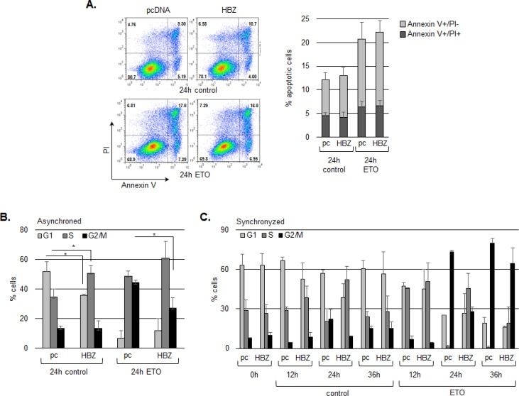 HBZ delays cell cycle arrest in G2/M following treatment with etoposide A. HBZ does not alter the level of apoptosis induced by etoposide. HCT116 p53 +/+ cells were transiently transfected with an HBZ or empty expression vector and, 48 h post-transfection, were treated with etoposide (ETO) or the DMSO vehicle (control) for 24 hours as indicated. Plots are from a representative experiment and the bar graph shows the average flow cytometry data of early apoptosis (grey bars) and late apoptosis (darker grey bars) from three independent experiments ± S.D. B. HBZ decreases G2/M arrest in an asynchronous cell population. HCT116 p53 +/+ cells were transiently transfected with an HBZ or the empty expression vector and, 48 h post-transfection, were treated with etoposide (ETO), or the DMSO vehicle (control) for 24 hours as indicated. The graph shows the average flow cytometry data from three independent experiments ± S.D. * P