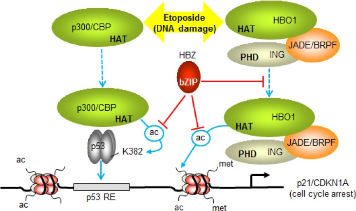 Model summarizing the effects of HBZ on p53-regulated transcription of p21/CDKN1A Etoposide-induced DNA damage, stimulates p53-dependent recruitment of p300 and HBO1 to the promoter (dashed blue arrows). During this process p300 acetylates p53 at K382 (ac-labeled arrow) and other lysine residues to increase the DNA-binding activity of p53 (solid blue arrow). HBO1 recruitment may be facilitated by associated ING and JADE/BRPF proteins, which interact with methylated histone H3 through their PHD finger domains. These interactions may position HBO1 in proximity to the transcription start site, where it acetylates histones. By inhibiting the HAT domains of p300 and HBO1, HBZ represses acetylation of p53 and promoter-associated histones. HBZ also restricts the recruitment of HBO1, which may lead to further reduction in acetylation of histones at the promoter. The sum of the effects of HBZ is to dampen the level of activation of p21/CDKN1A (and GADD45A) transcription, leading to a delay in cell cycle arrest induced by etoposide.