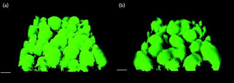 CLSM micrographs of biofilms formed by P. fluorescens (a) SBW25 Tn 7 :: gfp2 and (b) SBW25 Tn 7 :: gfp2 Δ viscA grown in AB minimal medium with citrate in flow cells for 2 days. Bars, 20 μm.