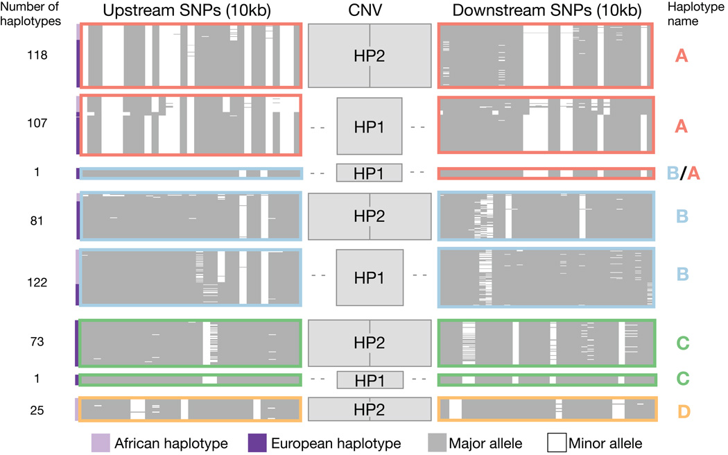 SNP haplotypes surrounding HP persist through the <t>CNV</t> region, yet segregate with both structural forms of HP This plot displays the SNP haplotypes (10 kb on each side of the HP CNV) segregating with HP1 and HP2 based on an analysis of 264 samples (528 haplotypes). The upstream <t>SNPs</t> are proximal to the centromere, while the downstream SNPs are distal to the centromere. Each thin horizontal line represents an individual SNP haplotype; similar or identical haplotypes are organized into clusters outlined by colored boxes. Note that the size of small clusters has been increased for visibility purposes and the number of haplotypes contained in each cluster is indicated at the left of the plot. White represents the minor allele and grey indicates the major allele across all populations in the analysis (CEU, IBS, TSI, YRI). Haplotypes ascertained from West African (HapMap YRI) individuals are indicated with lavender bars to the left of the plot, while haplotypes ascertained in European populations (CEU, IBS, TSI) are indicated with dark purple bars to the left of the plot. Haplotypes were clustered with the k-means method using upstream SNP haplotypes. Similar SNP haplotypes carrying different structures are indicated with colored outlines (dark pink, light blue, green, gold) and are designated haplotypes A–D. This figure was based on analysis of 1,000 Genomes Project samples and data (Methods).