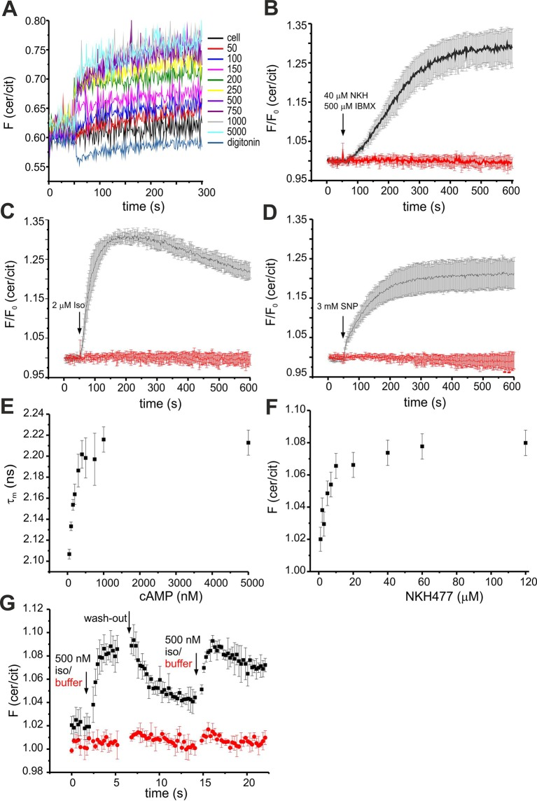 Characterisation of mlCNBD-FRET in HEK293 cells. ( A ) Calibration of mlCNBD-FRET in HEK293 cells. FRET was measured in a cuvette in a spectrofluorometer under basal conditions (ES), after permeabilization with 20 μM digitonin, and the following addition of increasing cAMP concentrations (in nM). According to the null-point calibration method, the difference in FRET ratio of the treated samples to the basal condition was determined and used to determine the basal cAMP concentration. ( B ) Changes in FRET in HEK293 cells expressing mlCNBD-FRET after stimulation with 40 μM NKH477/500 μM IBMX (black). FRET has been measured using spectrofluorometer. Data are presented as mean ± S.D. DMSO (0.13%, red) has been used as a control; n = 3 for each condition. ( C ) Similar to part ( B ) after stimulation with 2 μM isoproterenol (black). ( D ) Similar to part ( B ) for stimulation with 3 mM SNP (black). ( E ) Change in the cerulean fluorescence lifetime measured using Fluorescence Lifetime Spectroscopy (FLS). Cells have been permeabilized with 20 μM digitonin followed by addition of cAMP. The cerulean fluorescence decay was recorded and fitted with a bi-exponential decay to calculate the lifetime. The mean of the two lifetimes was calculated and averaged over n = 3 experiments. ( F ) Changes in FRET in HEK293 cells expressing mlCNBD-FRET after stimulation with different concentrations of NKH477. The FRET ratio has been calculated when reaching a maximum and normalized to the baseline ratio. Data is shown as mean ± S.D.; n = 4. ( G ) Changes in FRET in HEK293 cells expressing mlCNBD-FRET after alternatingly stimulating with 500 nM isoproterenol (black) followed by a wash-out with ES. As a control, cells were stimulated with buffer only (red). Data is shown as mean ± S.D.; n = 3. DOI: http://dx.doi.org/10.7554/eLife.14052.006
