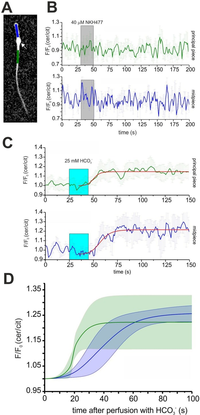 Spatio-temporal cAMP dynamics in the sperm flagellum. ( A ) cAMP dynamics was analyzed in a region 20 µm in length in the midpiece (blue) and principal piece (green) of freely beating sperm. The cytoplasmic droplet is indicated with an arrow. ( B ) Changes in FRET after stimulation with 40 μM <t>NKH477.</t> The perfusion with NKH477 is indicated with a grey box. Data for a representative cell are shown as mean ± S.D. in the midpiece (blue) and principal piece (green). ( C ) Changes in FRET after stimulation with 25 mM bicarbonate. The perfusion with bicarbonate is indicated with a blue box. Individual traces have been fitted using logistic regression (Origin 9) (red line). ( D ) Average of the fitted data presented in ( C ). The blue and green line represent the mean value for the midpiece and principal piece, respectively (n = 7). The blue and green areas represent the corresponding S.D. DOI: http://dx.doi.org/10.7554/eLife.14052.013