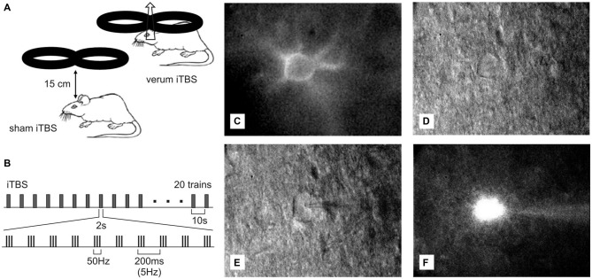 Ex vivo — in vitro <t>whole-cell</t> <t>patch</t> <t>recordings</t> of Cy3- Wisteria floribunda agglutinin (WFA)-labeled fast-spiking interneurons (FSIs) after transcranial magnetic stimulation (TMS). (A) Drawing showing placement and orientation of the figure-of-eight coil used to apply the intermittent theta-burst (iTBS) protocol (see B ) to the rat brain. At the orientation shown, a mediolaterally oriented electric field is induced within the brain, optimally suited to depolarize axons of the corpus callosum. (C) Red fluorescent Cy3-WFA-labeled perineuronal net of a cortical FSIs revealed by fluorescence microscopy. (D) The same neuron shown in infrared phase contrast illumination. (E) Same as in (D) but with the patch pipette attached to the cell. (F) Cell filled with Alexa488.