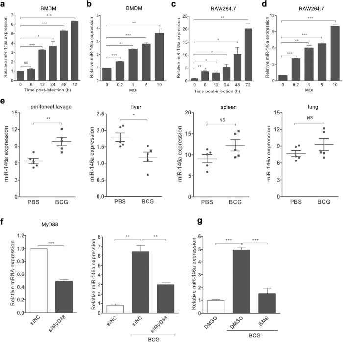 The expression of miR-146a were up-regulated after mycobacterial infection both in vivo and in vitro . Murine BMDMs ( a , b ) or RAW264.7 cells ( c , d ) were infected with M. bovis BCG at an MOI of 5 for the indicated time ( a , c ) or at the indicated MOIs for 24 h ( b , d ). Peritoneal lavage fluid and different organs were collected from BCG-infected or PBS-treated mice (n = 5).The expression levels of miR-146a were measured by real-time PCR ( e ). RAW264.7 cells were transfected with siRNA targeting MyD88 ( f ) or pretreated with IKKα/β inhibitor (BMS345541) ( g ), followed by BCG infection. The mRNA levels of MyD88 and miR-146a were measured by real-time PCR ( f , g ). Data are shown as mean ± s.e.m. of three independent experiments. *p