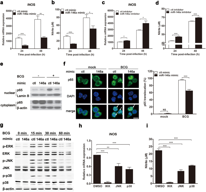 Mycobacteria-induced miR-146a impairs iNOS expression and NO production by inhibiting NF-κB and MAPKs pathways. RAW264.7 cells were transfected with miR-146a mimic or inhibitor for 24 h, followed by BCG infection ( a – d ). The mRNA levels of iNOS ( a , c ) and NO production ( b , d ) were measured by real-time PCR and Griess assay, respectively. The protein level of NF-κB p65 subunit in nucleus was detected by Western blot ( e ) and confocal microscopy ( f ). Arrows indicate NF-κB p65 accumulation in nucleus ( f ). Scale bar, 5 μm. The phosphorylation of ERK, JNK and p38 were determined by Western blot ( g ). RAW264.7 cells were pretreated with inhibitors for IKK, JNK or p38 for 1 h, followed by BCG infection. The mRNA levels of iNOS ( h ) and NO production ( i ) were measured by real-time PCR and Griess assay, respectively. Data are shown as mean ± s.e.m. of three independent experiments. *p