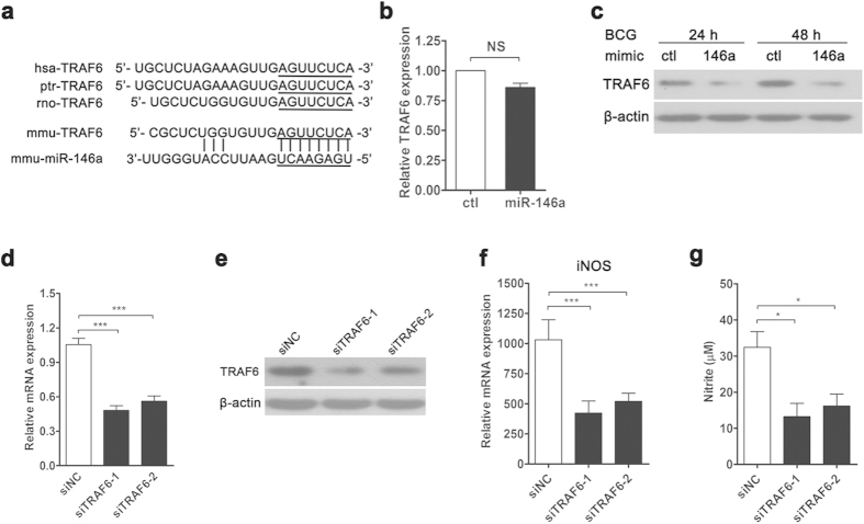 miR-146a represses TRAF6 expression post-transcriptionally to inhibit iNOS expression. Sequence of miR-146a and its predicted binding with the TRAF6 3′UTRs of different species are shown ( a ). The mRNA ( b ) and protein ( c ) levels of TRAF6 in control or miR-146a mimic-transfected RAW264.7 cells were measured by real-time PCR and Western blot, respectively. RAW264.7 cells were transfected with negative control siRNA (siNC), TRAF6 siRNA-1or siRNA-2, followed by BCG infection for 24 h. The mRNA and protein levels of TRAF6 were examined ( d , e ). The mRNA expression level of iNOS ( f ) and the nitrite level ( g ) were measured by real-time PCR and Griess assay, respectively. Data are shown as the mean ± s.e.m. of three independent experiments. * p