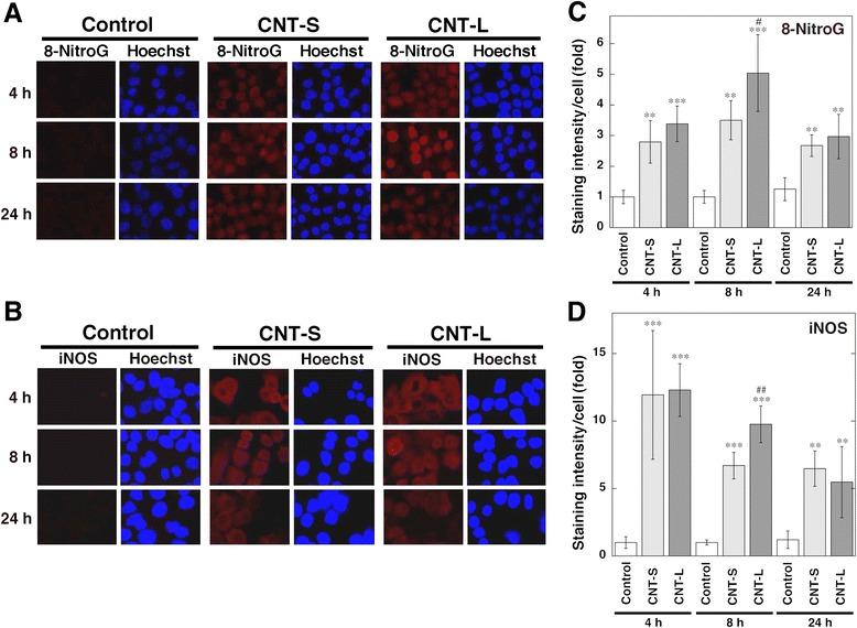 Time course of 8-nitroG formation and iNOS expression in MWCNT-treated cells. Immunofluorescent images of 8-nitroG formation ( a ) and iNOS expression ( b ) in MWCNT-treated A549 cells. A549 cells were treated with 1 μg/ml MWCNT for indicated durations at 37 °C, and 8-nitroG formation and iNOS expression were examined by fluorescent immunocytochemistry as described in Methods. Hoechst, Hoechst 33258. Magnification, X200. ( c , d ) Relative staining intensity of 8-nitroG and iNOS in A549 cells. Staining intensities of 8-nitroG ( c ) and iNOS ( d ) per cell were analyzed by an ImageJ software. Relative staining intensity of the control at 4 h was set at 1. Data represent means ± SD of 4 (control) and 6 (CNT-S and CNT-L) independent experiments. ** p