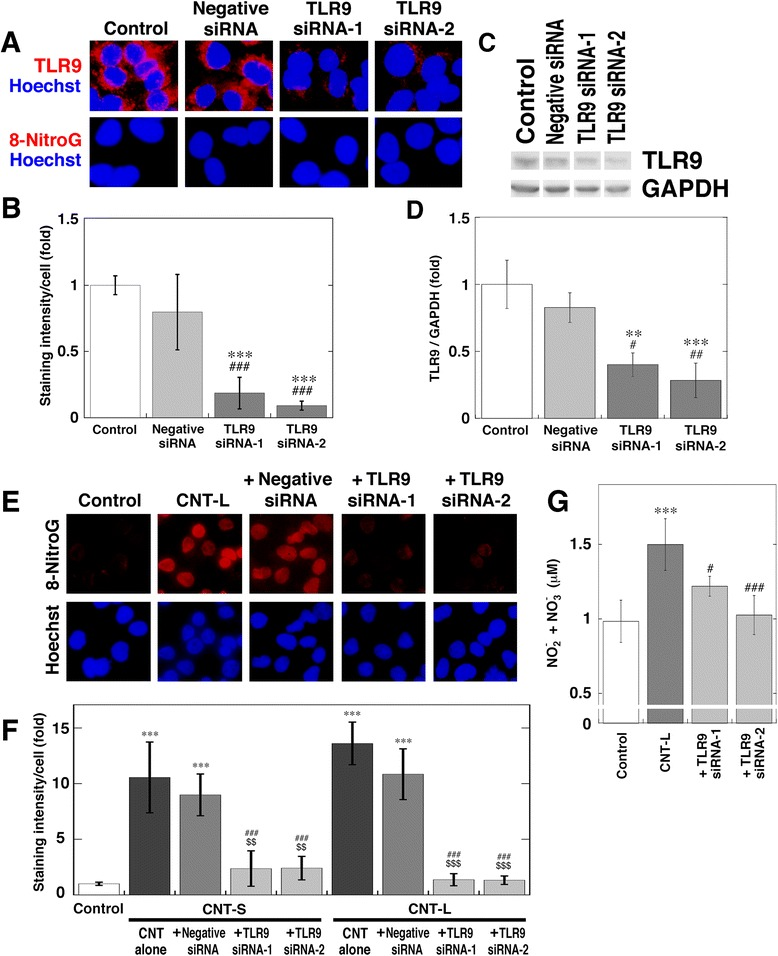 Inhibitory effect of TLR9 siRNA on MWCNT-induced 8-nitroG formation. a Immunofluorescent images of reduced TLR9 expression and the absence of 8-nitroG formation in siRNA-transfected cells. A549 cells were transfected with negative control or TLR9 siRNA (siRNA-1 and siRNA-2). TLR9 expression and 8-nitroG formation were examined by fluorescent immunocytochemistry. Hoechst, Hoechst 33258. Magnification, X400. b Relative staining intensity of TLR9 in siRNA-transfected A549 cells. The staining intensity of TLR9 per cell was analyzed by an ImageJ software. Relative staining intensity of the control was set at 1. Data represent means ± SD of 4 independent experiments. *** p