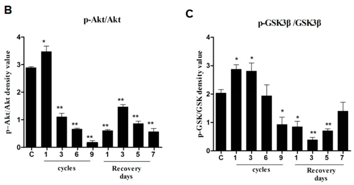 Phospho-Akt and phospho-GSK3β were downregulated in compressed tissues. The protein level of phospho-Akt (p-Akt), Akt, phospho-GSK3β (p-GSK3β), and GSK3β were determined by western blotting. ( A ) GAPDH was used as a protein loading control and for band density normalization; ( B , C ) Bar diagram of p-Akt/Akt and p-GSK3β/GSK3β ratios was calculated and plotted. Data are represented as the mean values ± SD. n = 8. * p