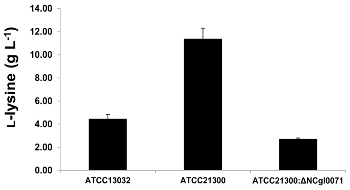 l -Lysine production of Corynebacterium glutamicum ATCC13032, ATCC21300, and the bioB mutant (of ATCC21300). Values shown are averages based on results obtained from at least three independent experiments, in which the standard deviation was