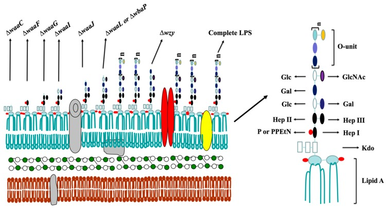 Schematic molecular model of S. <t>Typhimurium</t> cell wall structure. The Salmonella cell wall comprises the inner membrane, the periplasmic space filled with a gel-like matrix and the outer membrane. The inner membrane is the innermost component, whereas the outer membrane is the outermost impermeable structure, which is a bilayer consisting of a phospholipid layer on the inner side, and a lipopolysaccharide layer towards the outer side, as well as lipoproteins anchored into the membrane. Deletion of the specific gene responsible for lipopolysaccharide (LPS) synthesis would lead to truncation of LPS, thus resulting in the membrane rearrangement and altering the amounts and categories of lipoproteins. The figure represents the types of truncated LPS in this study. (Kdo, 3-deoxy- d -mannooctulosonic acid; PPEtN, pyrophosphorylethanolamine; Hep, heptose; GlcNAc, N -acetylglucosamine; Glc, glucose; Gal, galactose; P, phosphate). Deletion of waaC encoding heptosyltransferase I leads to a deep rough LPS structure carrying only Kdo-lipid A (Re); deletion of waaF encoding heptosyltransferase II results in a mutant generating a LPS structure with lipid A and a truncated inner core (Rd2); deletion of waaG encoding a glycosyltransferase leads to the Rd1 type of LPS lacking the outer core, and consequently, waaI and waaJ mutants produce the truncated core phenotype of Rb3 and Rb2, respectively; deletion of both waaL encoding O -antigen ligase and wbaP encoding Und-P galactose phosphotransferase leads to the production of core-lipid A (Ra) in the mutants; wzy encoding O -antigen polymerase is one of three processing genes, the deletion of which results in a mutant generating a semi-rough LPS carrying a single O -antigen unit with a complete lipid A core, and the deletion of rfaH encoding the transcriptional antiterminator leads to the production of the truncated core phenotype (Rb3).