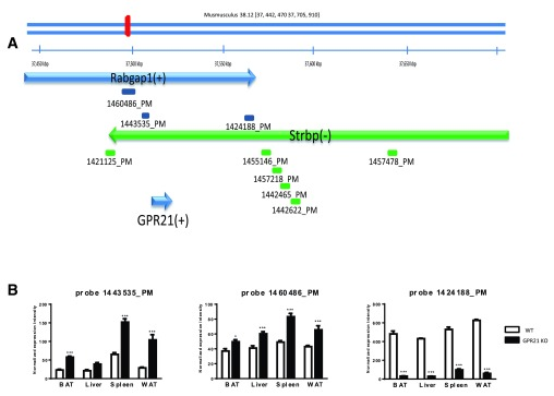 ( A ) Mouse Gpr21 is located on Chromosome 2 within the intron of Rabgap1 gene between exon 13 and 14 on the positive strand according to UCSC GRCm38/mm10 assembly. Strpb gene is on the opposite strand in the same region. The blue arrow represents the positive strand while the green one the negative strand. The bars under the genes represent microarray probe sets from Affymetrix mouse array HT MG-430PM platform. There is no probe set covering Gpr21 gene. The closest probe set 1421125_PM is located at 2,866 bases upstream of Gpr21 . ( B ) The level of Rabgap1 transcript was shown as normalized expression intensity. RNA was prepared from BAT, liver, spleen and WAT of Deltagen Gpr21 KO mice and their WT littermate controls. Probe 1443535_PM, 1460486_PM and 1424188_PM allow detection of Rabgap1 mRNA expression levels.