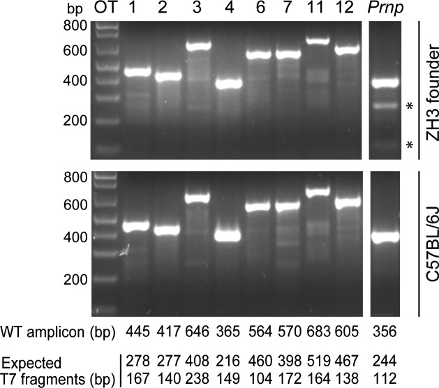 C57BL/6- Prnp ZH3/ZH3 mice do not have TALEN off-target cleavage sites. T7 endonuclease I digestion of PCR products generated from predicted OTs ( Table S1 ) and Prnp as a digestion positive control. Analyses were performed on the founder Prnp WT/ZH3 mouse and one control C57BL/6J mouse. Before enzymatic digestion, <t>amplicons</t> were subjected to a temperature gradient enabling the formation of heteroduplexes in the presence of heterozygous mutations in the amplified gDNA. In the presence of TALEN-induced mutations, fragments of the size indicated below the gels are expected to appear, in addition to the undigested, WT amplicon. Nonconsecutive lanes from the same gel show Prnp amplicon as a control. Only in the founder Prnp WT/ZH3 mouse T7 endonuclease I digestion of the Prnp amplicon results in the formation of the two predicted fragments (indicated by an asterisk).