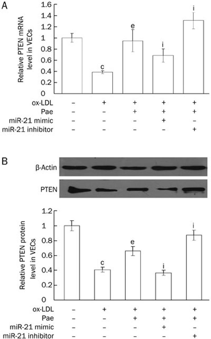 (A) Effects of paeonol on PTEN mRNA level was detected by SYBR Green PCR assay. (B) Effect of paeonol on PTEN protein level was analyzed by Western blotting. MiR-21 mimic or inhibitor was transfected into VECs, then VECs were pretreated with paeonol (120 μmol/L) for 24 h and stimulated with ox-LDL (20 mg/L) for another 24 h. Data were expressed as mean±SD. n =3. c P