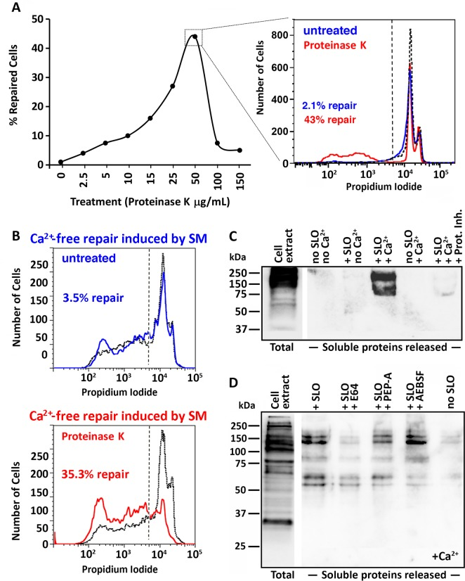 Extracellular proteolysis releases surface proteins and promotes PM repair. (A) Effect of proteinase K treatment on Ca 2+- dependent PM repair. NRK cells pre-treated with increasing concentrations of proteinase K were permeabilized with SLO (150 ng/ml), incubated at 37°C for 5 min, stained with PI and analyzed by FACS. The inset on the right shows one example of PI quantification for cells untreated (blue) or pre-treated with 50 μg/ml proteinase K (red). The dotted histogram shows the Ca 2+ -free permeabilization control, which determined the gating (dashed line). The data are representative of three independent experiments. (B) Effect of proteinase K treatment on SM-induced Ca 2+ -free PM repair. NRK cells treated (red) or not (blue) with 50 μg/ml proteinase K were permeabilized with SLO (15 ng/ml), incubated at 37°C for 5 min in Ca 2+ -free DMEM containing 10 μU/ml SM, stained with PI and analyzed by FACS. The dotted black histogram shows the Ca 2+ -free permeabilization control in the absence of sphingomyelinase; the data are representative of five independent experiments. (C, D) Biotinylated surface proteins released in soluble form during SLO wounding and repair. NRK cells were biotinylated at 4°C and permeabilized or not with SLO (100 ng/ml) in the presence or not of Ca 2+ and containing or not a cocktail of protease inhibitors (Prot. Inh.), 100 μM E64, pepstatin-A (PEP-A) or AEBSF for 30 s, followed by collection of the supernatant, centrifugation at 100,000 g and analysis by Western blot with streptavidin-HRP. A diluted sample of the total cell extract before SLO wounding is shown on the left. The data are representative of two (C) or three (D) independent experiments.