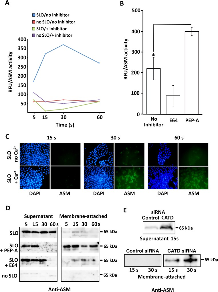 ASM secreted during cell injury associates with the PM and is proteolytically modulated. (A) Effect of protease inhibitors on ASM activity released from wounded cells. NRK cells were permeabilized with SLO (100 ng/ml) in Ca 2+ media containing (green) or not (blue) a protease inhibitor cocktail and incubated at 37°C for the indicated time. As controls, cells not treated with SLO (NT) were incubated with (purple) or without (red) inhibitors. Supernatant samples were placed on ice, protease inhibitors were added and ASM activity was assayed. Similar results were obtained with HeLa cells (not shown). (B) Effect of inhibitors on ASM activity released from wounded cells. NRK cells were permeabilized with SLO (100 ng/ml) in Ca 2+ -containing media with 100 μM E64, 100 μM pepstatin-A (PEP-A) or no inhibitors, and incubated at 37°C for 30 s. The data represent the mean +/- SD of triplicate assays. * P = 0.039, Student's t test. (C) Detection of cell-associated ASM during the first seconds after SLO wounding. NRK cells were permeabilized with SLO (100 ng/ml), incubated at 37°C in Ca 2+ -containing media for the indicated time, washed and immunofluorescence was performed with rabbit anti-ASM antibodies, followed by imaging under identical settings. (D) Detection of the active 65 kDa form of ASM in supernatant and membrane-associated fractions of wounded cells. NRK cells were permeabilized or not with SLO (100 ng/ml) with or without 100 μM E64 or 100 μM pepstatin-A for the indicated periods of time, and samples of the supernatant or of material removed from the cell surface by an acid wash were analyzed by Western blot with rabbit anti-ASM antibodies. The data are representative of at least three independent experiments. (E) Detection of the 65 kDa ASM form in the supernatant and membrane-associated fractions of wounded cells depleted or not in cathepsin D (CATD). NRK cells were permeabilized or not with SLO and analyzed as described in (D). The data are representative of at l
