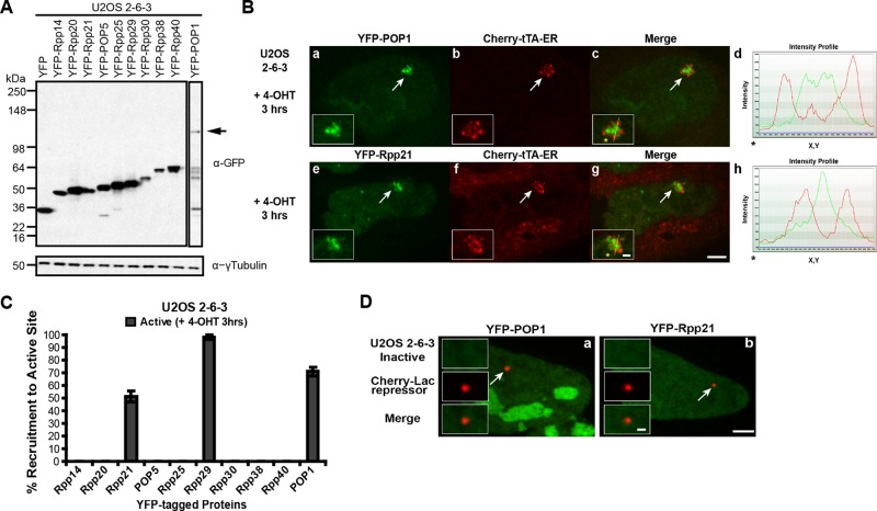 The RNase P subunits POP1 and Rpp21 are recruited to the activated transgene array. (A) Western blot of the YFP-tagged RNase P and RNase MRP protein subunits, screened for recruitment to the activated transgene array in U2OS 2-6-3 cells, using α-GFP antibody; γ-tubulin is used as a loading control. Arrow indicates YFP-POP1. Owing to the weak signal of YFP-POP1 on the blot, a longer exposure of the same gel is shown in the outlined region. (B) Localization of YFP-POP1 (a–d) and YFP-Rpp21 (e–h) at the activated transgene array in relation to the activator, Cherry-tTA-ER. Arrows indicate the location of the transgene array. Yellow lines in enlarged merge insets show the path through which the red and green intensities were measured in the intensity profiles (d, h). Asterisks mark the start of the measured line. Scale bar, 5 μm, 1 μm (enlarged inset). (C) Percentage of cells in which the YFP-tagged RNase P/MRP subunits are recruited to the activated transgene array. One hundred cells were counted from three independent transfections. SDs are shown in the form of error bars. (D) Localization of YFP-POP1 and YFP-Rpp21 in relation to the inactive transgene array marked by Cherry-lac repressor.