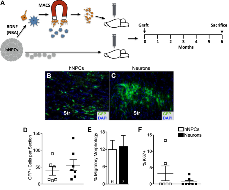 """In vivo potential tumorigenesis assay design, as well as percent survival and <t>Ki67</t> expression of late-passage hNPCs and their neuronal progeny. ( A ) Experimental timeline, wherein 3 month old NOD- scid mice were grafted with either hNPCs or MACS-purified neurons (N) in the striatum, and allowed to survive for 6 months. ( B,C ) Representative images of GFP+ surviving cells in mice 6 months after grafting with either hNPCs (scale bar = 10 μm) ( B ) or immature neurons (scale bar = 10 μm) ( C ). ( D ) Difference in overall donor cell survival between cell groups is not significant. ( E ) Migration of implanted cells was estimated on the basis of """"migratory profiles characterized by fusiform-shaped cell bodies with single leading and/or trailing processes"""" (Zheng et al. 38 ). For both cell groups, the total number of GFP+ cells displaying a migratory morphology was counted per the total number of GFP+ cells. Both cell groups displayed migratory characteristics. ( F ) Proliferative status of both cell groups is very low, as indicated by Ki67 immuno-reactivity, particularly in the neuron group. (Ctx = cortex, Str = striatum) Means + s.e.m. P > 0.05, unpaired two-tailed t test."""