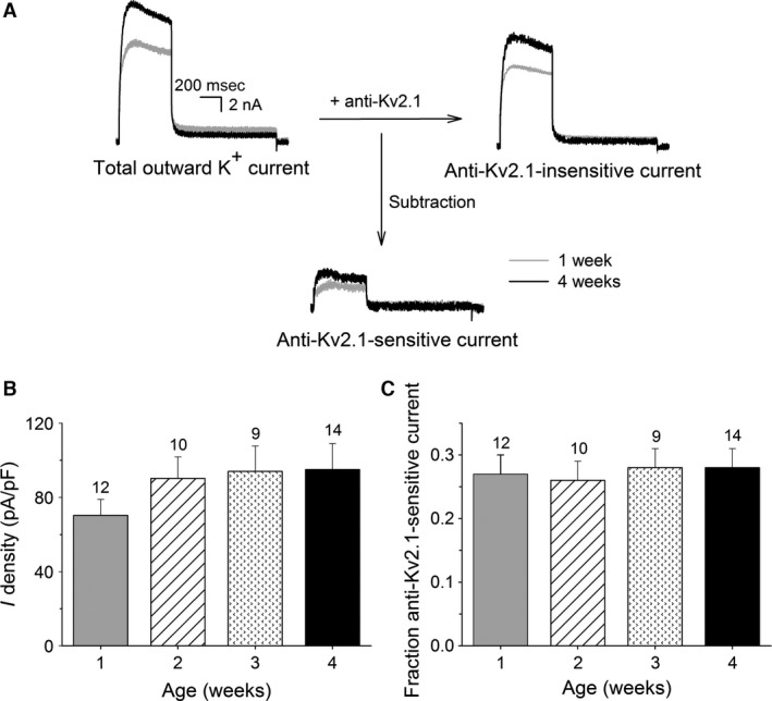 Postnatal development of anti‐Kv2.1‐sensitive current in dorsal root ganglion ( DRG ) neurons at 0 mV . (A) Representative current recordings of the total outward K + (left), anti‐Kv2.1‐insensitive (right) and anti‐Kv2.1‐sensitive (bottom) currents in DRG neurons obtained from 1 week (gray) and 4 weeks (black) old mice elicited by a 500 msec depolarizing pulse to 0 mV from a holding potential of −70 mV . The anti‐Kv2.1 sensitive current was obtained by subtracting the current after intracellular diffusion of Kv2.1 antibodies (i.e., anti‐Kv2.1‐insensitive current) from the total outward K + current. The scale bar applies to all current recordings. (B) Current densities of the anti‐Kv2.1‐sensitive component in the different age groups. The anti‐Kv2.1‐sensitive current density rose gradually, although not significantly, during postnatal development. (C) The fraction of the anti‐Kv2.1‐sensitive current relative to I K at the different developmental stages obtained as described in the Results section remained unchanged. The numbers above each bar indicate the number of cells analyzed.