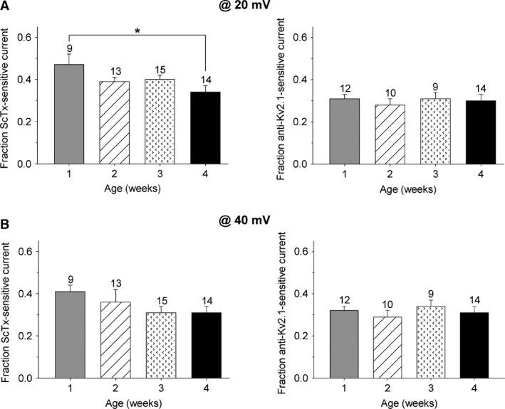 Postnatal development of the ScTx‐ and anti‐Kv2.1‐sensitive current at +20 and +40 mV . The fraction of ScTx‐sensitive current (left) and anti‐Kv2.1‐sensitive current (right) relative to I K of the different postnatal age groups at the end of a 500 msec depolarizing pulse at +20 mV (A) and +40 mV (B). (A) At +20 mV , the fraction of ScTx‐sensitive current in dorsal root ganglion neurons from 1 week old mice was significantly larger compared to that from 4 week old mice (* P