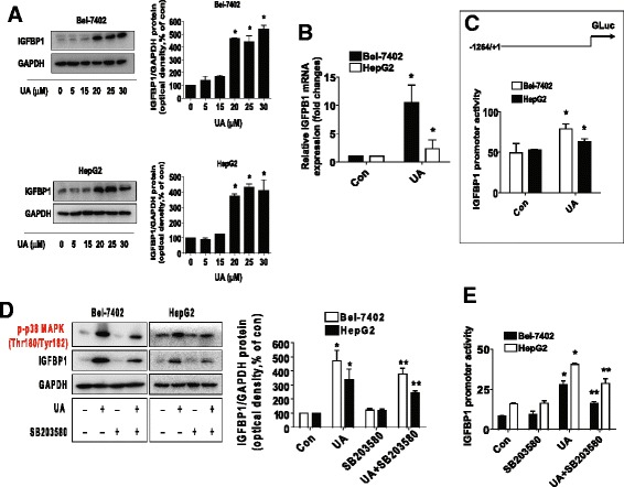 UA induced the protein, mRNA expression, and promoter activity of IGFBP1, which were blocked by SB203580. a - b , HepG2 and Bel-7402 cells were exposed to increased concentrations of UA or UA (25 μM) for 24 h. Afterwards, the expression of IGFBP1 protein ( a ) and mRNA ( b ) were detected by Western blot and qRT-PCR methods as described in the Materials and Methods section. *Indicates significant difference as compared to the untreated control group ( P