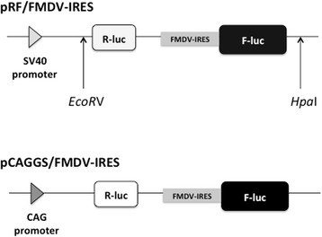 <t>pRF/FMDV-IRES</t> and pCAGGS/FMDV-IRES plasmid construction. Structure of the bicistronic luciferase reporter construct containing the FMDV-IRES element located between Renilla luciferase and firefly luciferase (pRF-FMDV-IRS). Reporter gene was excised from this plasmid construct using the restriction enzymes Eco RV and Hpa I, and was o the pCAGGS/MCS(F) vector treated with Sma I and rAPid Alkaline Phosphatase using Mighty Mix