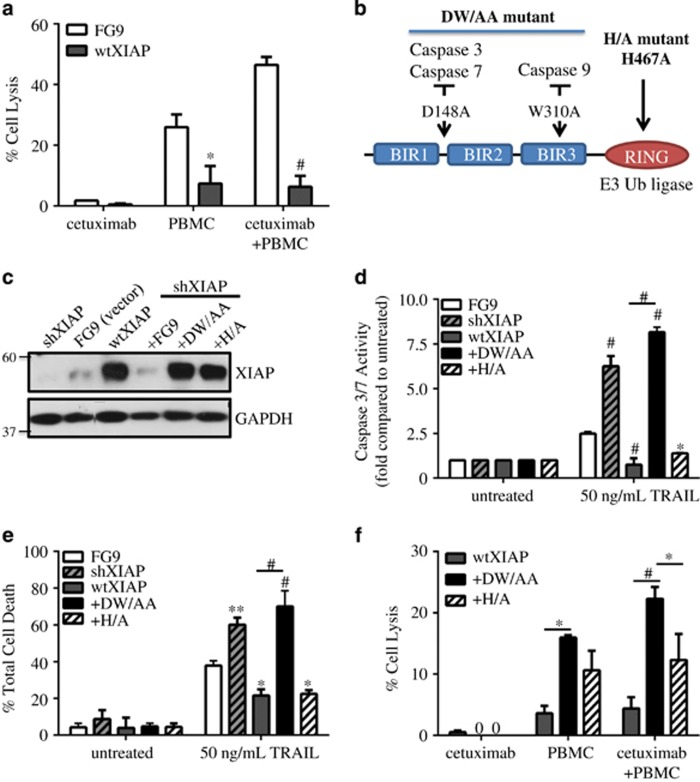 XIAP overexpression inhibits <t>ADCC</t> response in SUM149 cells through caspase inhibition. ( a ) Percent cell lysis of SUM149 FG9 and wtXIAP cells incubated with cetuximab alone, PBMC alone or cetuximab and IL-2 activated <t>PBMCs</t> for 4 h, n =2–3. ( b ) Schematic of XIAP mutants used in this study. D148A mutation is known to disrupt binding of caspases 3 and 7, whereas W310A disrupts caspase-9 binding. The H467A point mutation abolishes E3 ubiquitin ligase activity. ( c ) Western immunoblot of XIAP expression in cell lines transduced as indicated. FG9 is an empty vector as described in Materials and Methods. ( d ) Caspase activity and ( e ) viability of XIAP variant cell lines treated as indicated. Bars represent fold change in luminescence ( d ) or mean±S.E.M. % cell death ( e ), n =2–3. ( f ) Percent cell lysis of wtXIAP, +DW/AA and +H/A cells incubated with cetuximab alone, PBMC alone or cetuximab and IL-2 activated PBMCs for 4 h. Bars represent mean±S.E.M. calculated percent lysis, n =2–3. * P