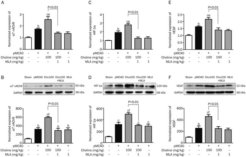 Effects of oral choline treatment on the gene and protein expression levels, respectively, of α7 nAChR (A and B), HIF-1α (C and D), and VEGF (E and F) in the ischemic cerebral cortex. Mean±SEM. n =3. b P