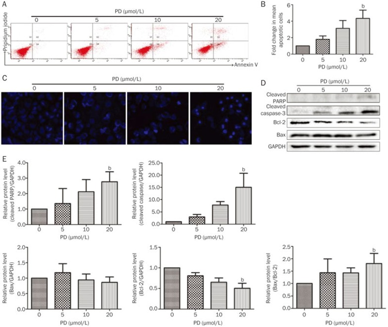 PD induces apoptosis in BEL-7402 cells. BEL-7402 cells were treated with different concentrations of PD for 24 h. (A) Apoptotic cells were detected by Annexin V/PI staining using flow cytometry. (B) Quantitation of the results obtained from (A). (C) The apoptotic cells were evaluated with <t>Hoechst</t> 33342 staining and imaged using the In Cell Analyzer 2000 System. (D) The expression of apoptosis-related proteins, including cleaved PARP, cleaved caspase-3, Bcl-2, and Bax, were analyzed by Western blot analysis. (E) Quantitation of the results obtained from (D). b P