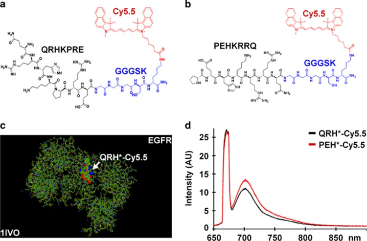 Peptide specific for EGFR. ( a ) Chemical structure of QRHKPRE peptide (black) with GGGSK linker (blue) and Cy5.5 fluorophore (red). ( b ) Scrambled peptide PEHKRRQ (control). ( c ) QRH*-Cy5.5 was found on the structural model to bind domain 2 of EGFR (1IVO). ( d ) Fluorescence spectra of Cy5.5-labeled peptides with λ ex =671 nm shows peak emission near 710 nm. AU, arbitrary unit; EGFR, epidermal growth factor receptor.