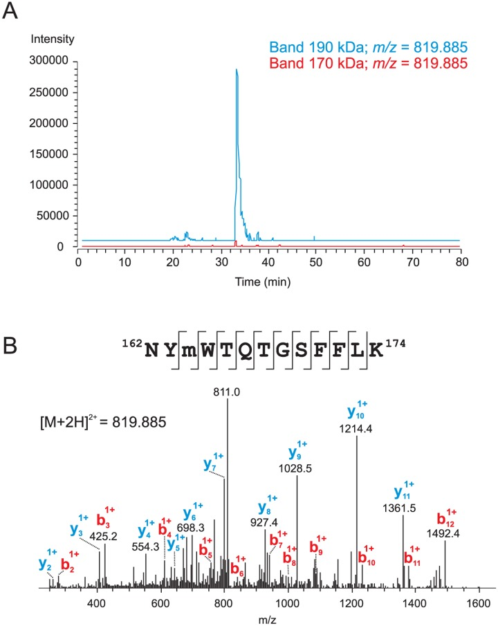 Partial sequence (162–174) is present in unprocessed ABCA3 and missing in processed protein form. A : Intensity profiles of an m/z range corresponding to the monoisotopic peak of the doubly-charged ion at m/z 819.885 ( m/z window ±5 ppm) for 190 kDa and 170 kDa gel bands acquired in <t>Orbitrap.</t> B : Identification of the ABCA3 tryptic peptide comprising amino acid residues 162–174 of the precursor protein and containing methionine sulfoxide at position 164. MS/MS spectra after CID fragmentation measured in the <t>LTQ</t> ion trap are shown. Major b and y ions are labelled on the spectra and all fragment ions obtained are marked on the identified sequence. The ion at m/z 811 corresponds to the loss of water from the parent ion.
