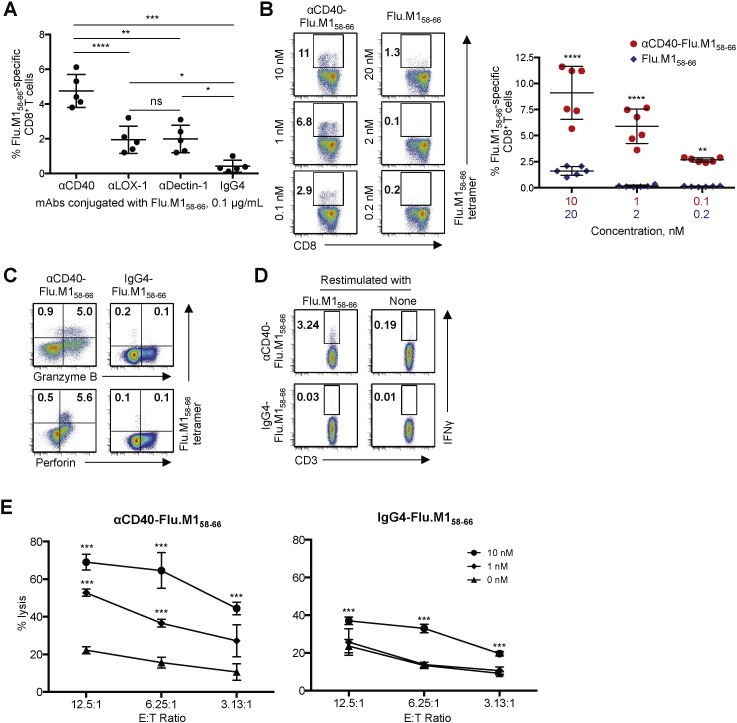 The superiority of CD40 over LOX-1 and Dectin-1 for boosting functional memory CD8 + CTLs. A–C . Purified CD8 + T cells were co-cultured with Mo-DCs loaded with the indicated amounts of mAb-Flu.M1 58–66 conjugates or Flu.M1 58–66 peptide. CD8 + T cells were then stained with HLA-A*A0201-Flu.M1 58–66 tetramer. A . Frequencies of Flu.M1 58–66 -specific CD8 + T cells activated by Mo-DCs loaded with 0.1 μg/mL mAb-Flu.M1 58–66 conjugates. Dots represent data generated with cells from healthy donors (n = 5). B . Frequencies of Flu.M1 58–66 -specific CD8 + T cells elicited by Mo-DCs loaded with αCD40-Flu.M1 58–66 at 10, 1, 0.1 nM, or with Flu.M1 58–66 peptide at 20, 2, 0.2 nM. Each Flu.M1 58–66 conjugate molecule contains two molecules of Flu.M1 58–66 antigen. Representative flow cytometric data (left) and summarized data (mean ± SD) from five independent experiments (n = 6) are presented. C . CD8 + T cells activated with Mo-DCs loaded with αCD40-Flu.M1 58–66 or IgG4-Flu.M1 58–66 in A were further stained for <t>granzyme</t> B and perforin. Three independent experiments showed similar results. Representative flow cytometric data on the frequencies of Flu.M1 58–66 -specific granzyme B + or perforin + CD8 + T cells are shown. D . CD8 + T cells activated with Mo-DCs loaded with αCD40-Flu.M1 58–66 or IgG4-Flu.M1 58–66 in A were restimulated with 1 μM Flu.M1 peptide, and intracellular IFNγ expression was assessed. Three independent experiments showed similar results. Representative flow cytometric data on the frequencies of Flu.M1 58–66 -specific IFNγ + CD8 + T cells are shown. E . A 5 h 51 Cr release assay using T2 cells loaded with the indicated amounts of Flu.M1 58–66 peptide. CD8 + T cells activated with Mo-DCs loaded with 0.1 μg/mL αCD40-Flu.M1 58–66 or IgG4-Flu.M1 58–66 were used as effector cells. Error bars indicate SD of triplicate assays. Three independent experiments resulted in similar data. Significance in A , B and E was determined using an ANOVA test. *, P