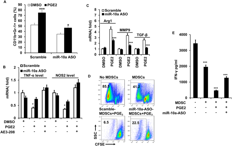 PGE 2 promotes the expansion and M2 polarization of MDSCs via miR-10a. BM cells were treated with PGE 2 in the presence of GM-CSF and IL-6. MiR-10a antagomir (miR-10a ASO) and scrambled oligonucleotides were transfected on the second day. Gr-1 + CD11b + MDSCs were evaluated by flowcytometry after 4 days ( A ). BM cells in ( A ) were cultured with ( B ) or without ( C ) EP4 antagonist (1 μM ONO-AE3-208), rhe relative levels of TNF-α, NOS2, Arg1, MMP9, and TGF-β mRNA in BM-derived MDSCs were detected by qRT-PCR after 3 days of transfection; ( D ) In vitro suppressive ability of MDSCs that transfected with miR-10a antagomir (miR-10a ASO) or scrambled control on naïve CD4 + CD25 − T cells proliferation were analyzed by flowcytometry. CFSE labeled CD4 + CD25 − naïve T cells were incubated with APC (CD4 + T cell depleted splenocytes) and MDSCs, and stimulated with anti-CD3 with/without PGE 2 for 3–5 days. Cell proliferation was measured as a function of CFSE dilution. ( E ) The level of IFN-γ in the supernatant of cocultured cells in D was determined by ELISA. Data represent Mean ± SD from 3–5 individual experiments. *p