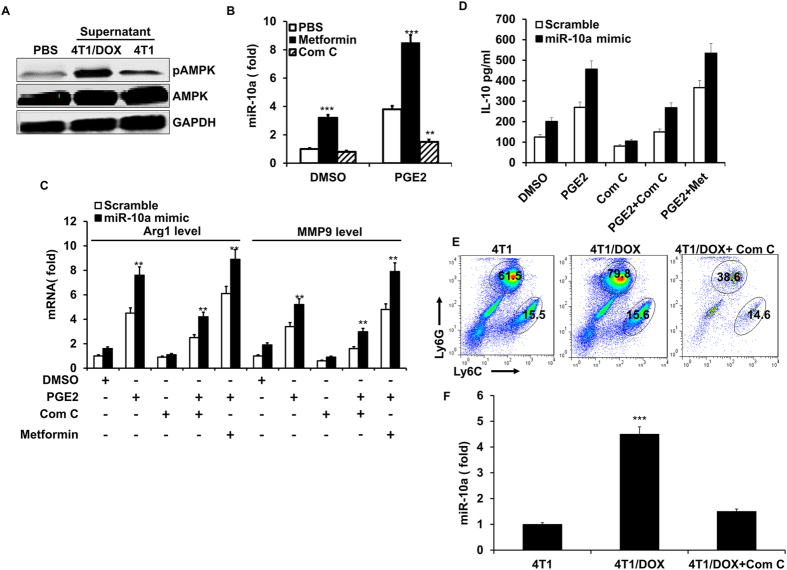 The role of AMPK in the miR-10a expression of MDSCs induced by PGE2. ( A ) Western blotting of p-AMPK and AMPK in BM-derived MDSCs cultured with conditioned medium from 4T1 or Doxorubicin-resistant 4T1 cells (4T1/DOX) for 3 days in the presence of GM-CSF and IL-6. ( B ) BM-derived MDSCs transfected with miR-10a antagomir (miR-10a ASO) or scrambled control were cultured with metformin (10mM) or compound C (Com C, 5 μM) in the presence of or absence of PGE 2 , and the expression of miR-10a was determined by qRT-PCR. ( C ) BM-derived MDSCs transfected with miR-10a mimics or scrambled control were cultured with metformin (10 mM) or Compound C (Com C, 5 μM) in the presence of or absence of PGE 2 , MMP9 and Arg1 mRNA were determined by qRT-PCR. ( D ) MDSCs were cultured as C and activated by LPS (100 ng/ml) and IFN-γ (2 ng/ml), the secretion of IL-10 was examined by ELISA. ( E ) Representative FACS plots showing the percentage of M-MDSCs and G-MDSCs (cells were gated on CD11b + Gr-1 + ) in spleen two weeks after 4T1/DOX cells were intravenously inoculated into BALB/c mice with/without Compound C treatment (25 mg/kg, one time/every three days for four times). ( F ) Quantification of the expression of miR-10 in CD11b + Gr-1 + MDSCs sorted from spleen. Data represent Mean ± SD from 3 individual experiments. ** p