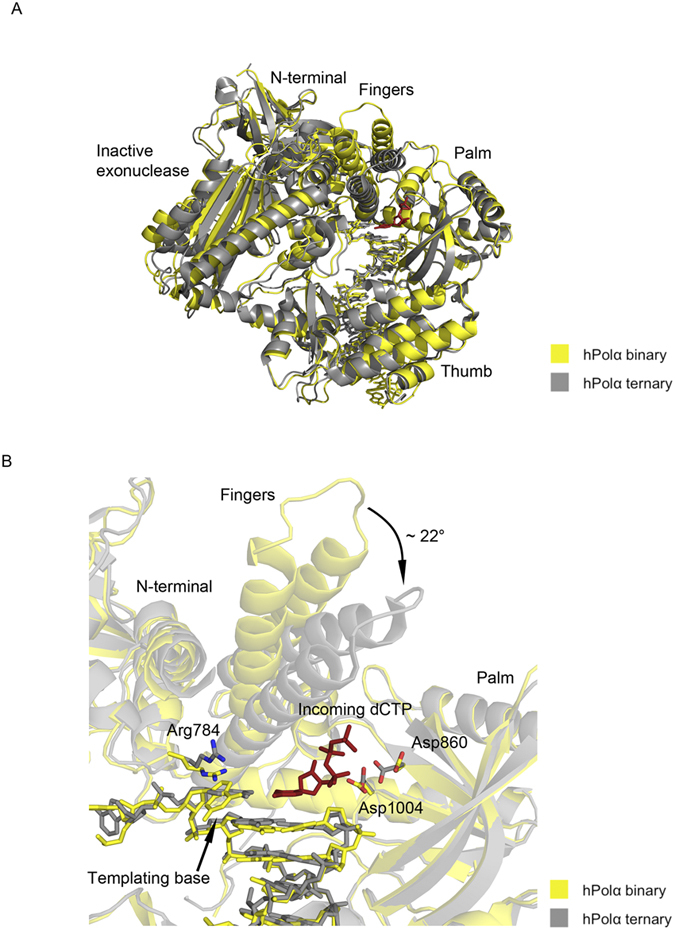 Comparison between binary and ternary structures of hPolα. ( A ) The hPolα binary complex bound to DNA:DNA is colored yellow and the ternary complex bound to RNA:DNA (PDB code 4 QCL) is colored gray. The palm, fingers, thumb, exonuclease and N-terminal domains are labeled. ( B ) Close-up view of the hPolα active site. Side chains for residues Arg784, Asp860 and Asp1004 are shown with oxygen atoms in red and nitrogen atoms in blue. The incoming nucleotide (dCTP) from the ternary structure is shown in red.