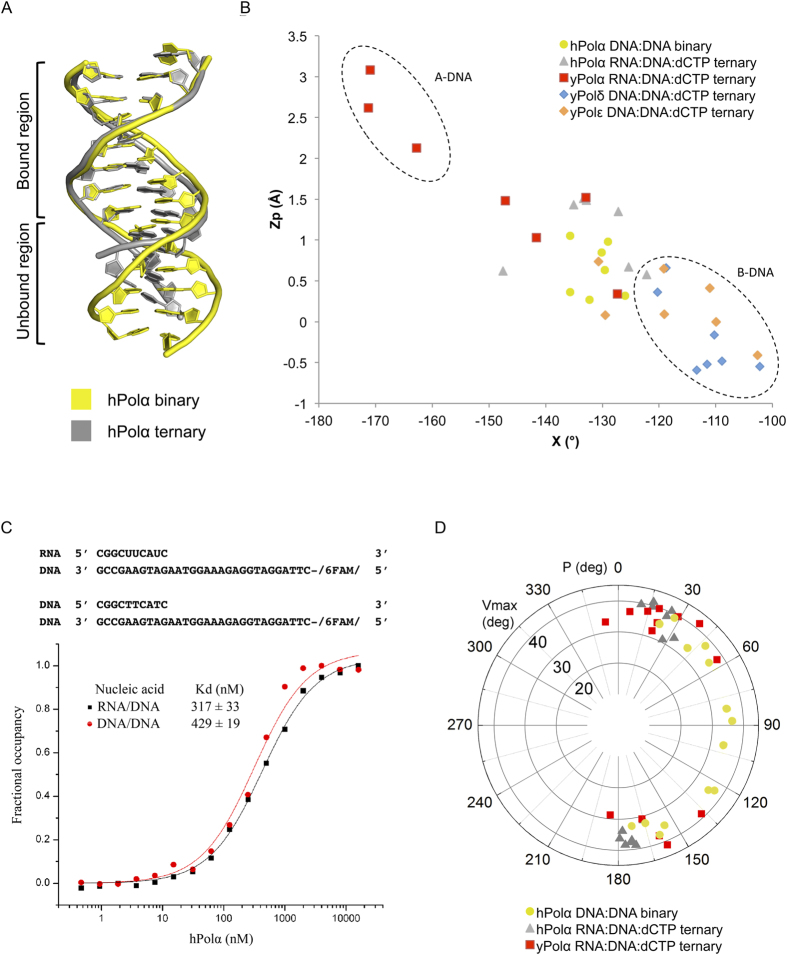 Conformation of nucleic acid. ( A ) Comparison of the DNA conformations of the hPolα binary complex (yellow) and the hPolα ternary complex (gray). The bound and unbound regions are marked in the figure. ( B ) Scatter plot of Z p , the mean z-coordinate of the backbone phosphorous atoms with respect to individual dinucleotide reference frames, against the mean value for the four χ torsion angles at each dinucleotide step. The values for 7 DNA:DNA base steps bound to hPolα in the binary complex are shown as yellow circles. The 7 RNA:DNA base steps bound to hPolα in the ternary complex (PDB code 4 QCL) are shown as gray triangles. The values for RNA:DNA steps bound to yPolα (red squares), DNA:DNA steps bound to yPolδ (blue diamonds) and DNA:DNA steps bound to yPolε (orange diamonds) are also plotted. ( C ) Binding affinities of hPolα for DNA/DNA and RNA/DNA measured by a fluorescence anisotropy assay. The fraction of DNA/DNA or RNA/DNA bound is plotted versus hPolα concentration (logarithmic scale) in order to determine the dissociation constants. ( D ) Distribution of the pseudorotational phase angle P and puckering amplitude v max of the base steps in contact with hPolα in the binary complex (yellow circles), with hPolα in the ternary complex (gray triangles) and with yPolα in the ternary complex (red squares).