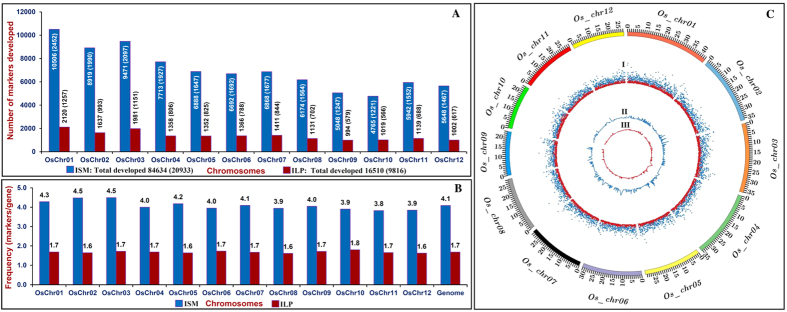 Genome-wide distribution pattern [number ( A ) and frequency ( B )] of 84634 ISM and 16510 ILP markers designed from the intronic sequences of 20533 and 9816 genes annotated from 12 rice chromosomes. Number in parenthesis specifies rice genes with ISM and ILP markers. ( C ) The relative distribution of 84634 ISM and 16510 ILP markers physically mapped on 12 rice chromosomes are depicted by a Circos circular ideogram. The outermost circle denotes the physical size (Mb) of 12 rice chromosome-pseudomolecules coded with multiple colours. The next circle I signifies the ISM (blue) and ILP (red) markers designed from rice genes, whereas circles II and III indicate the ISM (blue) and ILP (red) markers, respectively, developed from known cloned genes regulating diverse agronomic traits (yield component and stress tolerance traits) in rice.