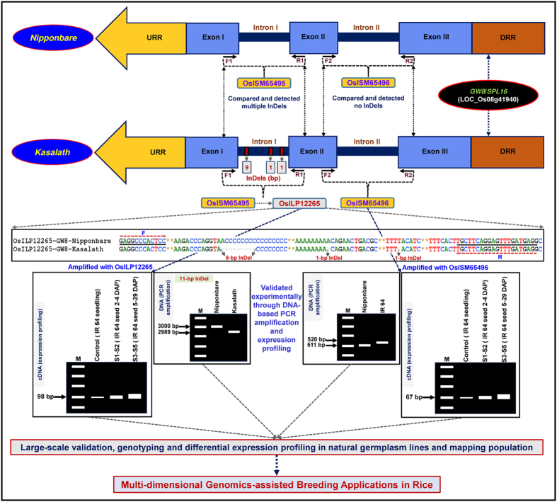 Schematic depicting the key steps followed for successful discovery, large-scale validation and high-throughput genotyping of ISM and ILP markers derived from diverse intronic sequence components of grain weight-regulating known cloned gene as exemplified by GW8 / SPL16 (annotated from rice genome), to be utilized for multi-dimensional genomics-assisted breeding applications in rice. The Forward (F) and Reverse (R) primers designed from the exonic sequences flanking the introns (without any InDels) and intronic-InDels were developed as ISM and ILP markers, respectively. URR: Upstream regulatory region and DRR: downstream regulatory region. The identities of ISM and ILP markers with their detailed information are mentioned in the Tables S1 and S2.