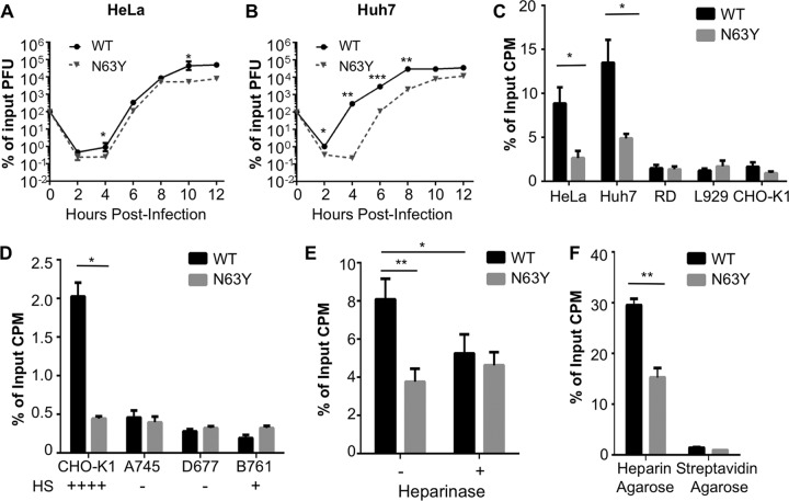 N63Y mutant CVB3 has a growth defect in cell culture and reduced glycan-mediated cell attachment. Single-cycle assays of viral replication in HeLa (A) and Huh7 (B) cells were performed. Infections with WT or N63Y mutant CVB3 were performed at an MOI of 0.1. Viral titers were determined by plaque assay with HeLa cells. n = 3. (C) Cell attachment of 35 S-labeled WT or N63Y mutant CVB3. Virus was incubated with cells at 4°C for 40 min. Cells were washed and trypsinized, and cell-associated 35 S was quantified. (D) 35 S-labeled WT or N63Y mutant CVB3 was incubated with CHO cells (CHO-K1, pgsA745, pgsD677, and pgsB761) that vary in GAG expression. Plus and minus signs indicate the relative levels of GAGs on the cell surface. (E) Effect of heparinase treatment on CVB3 cell attachment. Huh7 cells were treated with or without heparinase I for 90 min prior to quantification of 35 S CVB3 attachment. n = 7. (F) Heparin-agarose pulldown assay. 35 S-labeled WT or N63Y mutant CVB3 was incubated with heparin-agarose resin or streptavidin-agarose resin (control). Resin was washed, and bound 35 S-labeled CVB3 was quantified. n = 3. *, P