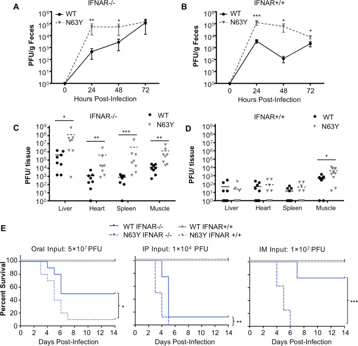 N63Y mutant CVB3 shows enhanced replication and virulence in mice. The viral fecal shedding profiles of IFNAR −/− (A) or IFNAR +/+ (B) mice orally inoculated with 5 × 10 7 PFU of WT or N63Y mutant CVB3 were determined. Virus titers were determined by plaque assay. Tissue viral titers at 72 hpi were determined in IFNAR −/− (C) or IFNAR +/+ (D) mice orally inoculated with 5 × 10 7 PFU of WT or N63Y mutant CVB3. (E) Survival curves of CVB3-infected mice. From left to right, IFNAR −/− (blue lines) or IFNAR +/+ (gray lines) mice were inoculated orally with 5 × 10 7 PFU, i.p. inoculated with 1 × 10 4 PFU, or i.m. inoculated with 1 × 10 2 PFU of WT (solid line) or N63Y mutant (dashed line) CVB3. For all panels, n = 5 to 8. *, P