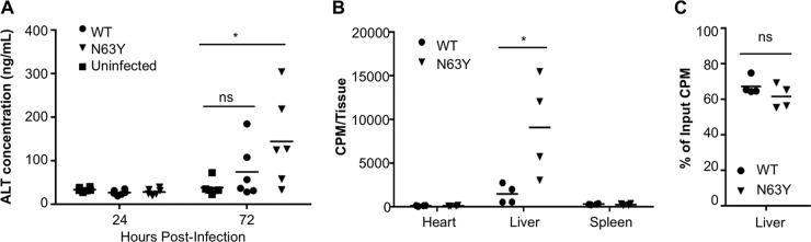 N63Y mutant CVB3 shows greater dissemination to the liver and induces more liver damage than WT CVB3. IFNAR −/− mice were orally infected with 5 × 10 7 PFU of WT or N63Y mutant CVB3. (A) Blood was harvested at 24 and 72 hpi, and ALT levels were quantified by ELISA. n = 6. (B) IFNAR −/− mice were inoculated i.p. with 2 × 10 7 PFU/20,000 cpm 35 S labeled WT or N63Y mutant CVB3. Heart, liver, and spleen samples were harvested at 1 hpi, and tissue-associated counts per minute were quantified. (C) Binding of CVB3 to homogenized tissues. A total of 3 × 10 6 PFU/3,000 cpm 35 S labeled WT or N63Y mutant CVB3 were incubated with homogenized liver tissue from IFNAR −/− mice for 60 min; this was followed by washing and quantification of the tissue-associated counts per minute. *, P