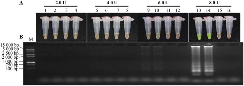 Optimization of concentration of Bst DNA polymerase in the LAMP reaction. ( A ) LAMP products detected by 1 000×SYBR Green I (Biotek Co., Ltd., Beijing, China). ( B ) Detection of LAMP products by agarose gel electrophoresis stained by EB (ethidium bromide). Tubes and lanes 3, 7, 11 and 15: negative control. Tubes and lanes 4, 8, 12 and 16: blank control. Tubes and lanes 1 and 2, 5 and 6, 9 and 10, 13 and 14: the positive plasmid pMD19-T-Pep1, repeated twice. Tubes and lanes 1–4, 5–8, 9–12 and 13–16: Bst DNA polymerase concentrations were 2.0 U, 4.0 U, 6.0 U and 8.0 U, respectively. Lane M: DL 15 000 + 2 000 DNA marker.