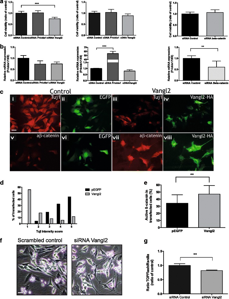 Vangl2 alterations affect cell growth, differentiation and active β-catenin expression in neural stem cells in vitro . a siRNA against Vangl2 induced a significant decrease of cell viability compared to control cells transfected with a control siRNA sequence in C17.2 cells (one-way ANOVA with Bonferroni post-test, control vs siRNA Vangl2 P = 0.0004). siRNA against Prickle1 , siRNA against β-catenin , cDNA for Prickle1 or cDNA for Vangl2 caused no change in cell viability. b The mRNA expression of Prickle1 after siRNA or cDNA transfection of Prickle1 , Vangl2 or β-catenin . Only cDNA Prickle1 and siRNA β-catenin induced significant changes in Prickle1 mRNA expression (one-way ANOVA with Bonferroni post-test, control vs cDNA Prickle1 P